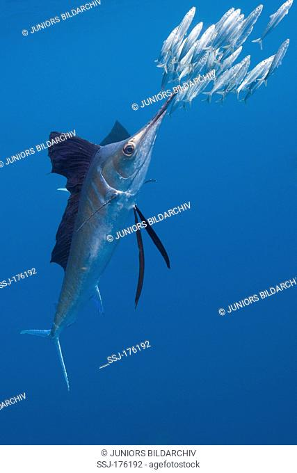 Atlantic Sailfish (Istiophorus albicans) hunting pilchards