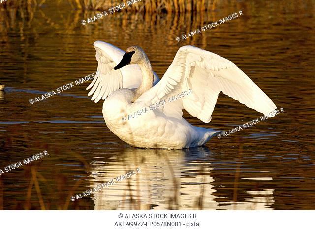 Trumpeter swan in Potter Marsh, Southcentral Alaska, Autumn