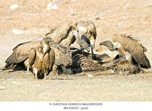 Cape Griffon or Cape Vulture (Gyps coprotheres) in the dry riverbed, Boteti River, Khumaga, Makgadikgadi Pans National Park, Botswana, Africa