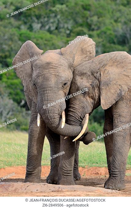 African bush elephants (Loxodonta africana), two bulls twisting their trunks at waterhole, Addo Elephant National Park, Eastern Cape, South Africa, Africa