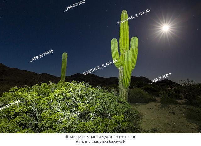 Cardon cactus, Pachycereus pringlei, at night under nearly full moon in Bahia Bonanza, BCS, Mexico