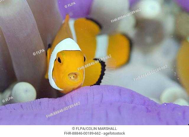 False Clown Anemonefish (Amphiprion ocellaris), with Tongue-biter Cymathoid Isopod (Cymothoa exigua) parasite on tongue in Magnificent Sea Anemone (Heteractis...