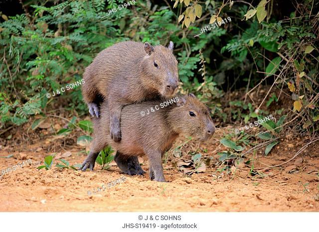 Capybara, (Hydrochoerus hydrochaeris), youngs playing on shore, Pantanal, Mato Grosso, Brazil, South America