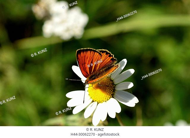 Scarce Copper, Lycaena virgaureae, Lycaenidae, butterfly, insect, animal, Stagias, Curaglia, Canton of Graubünden, Switzerland
