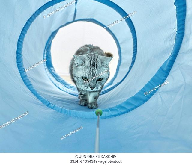 British Shorthair. Gray tabby adult waling through a blue toy tunnel. Germany