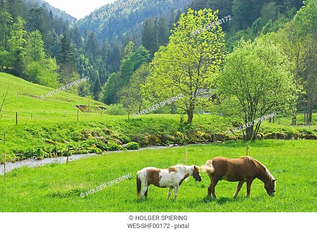 Germany, Schwarzwald, Hexenlochmühle, horses on pasture