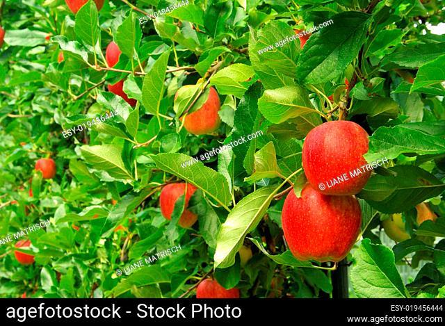 Apfel am Baum - apple on tree 10