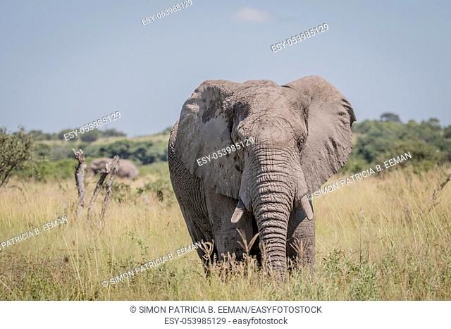 Elephant standing in high grass in the Chobe National Park, Botswana