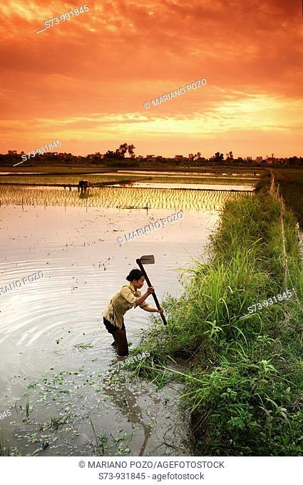Woman working in a rice field. Hanoi. Vietnam