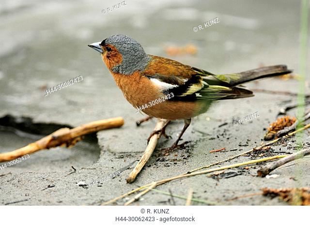 Common Chaffinch, Fringilla coelebs, Fringillidae, Chaffinch, male, bird, animal, Rhine river, Untervaz, Canton of Graubünden, Switzerland