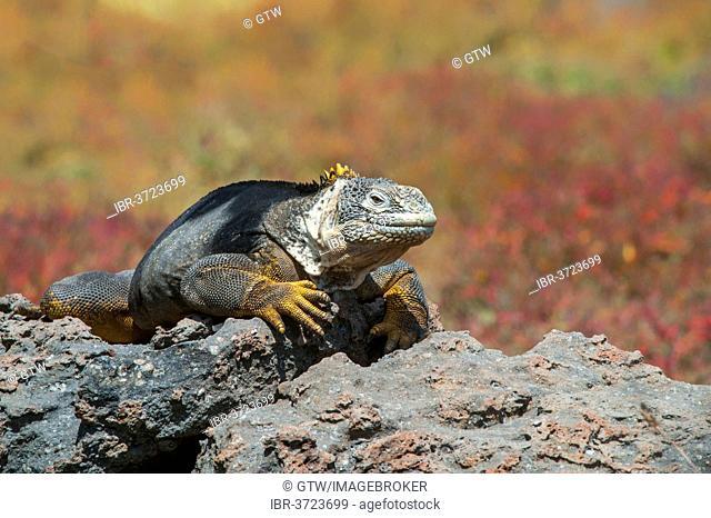 Galapagos Land Iguana (Conolophus subcristatus), South Plaza Island, Galápagos Islands, Ecuador