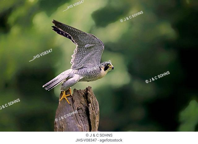 Peregrine falcon, (Falco peregrinus), adult starts flying, Pelm, Eifel, Germany, Europe