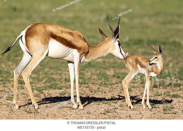 Springbok (Antidorcas marsupialis). Ewe cleans its newly born lamb. During the rainy season in green surroundings. Kalahari Desert, Kgalagadi Transfrontier Park