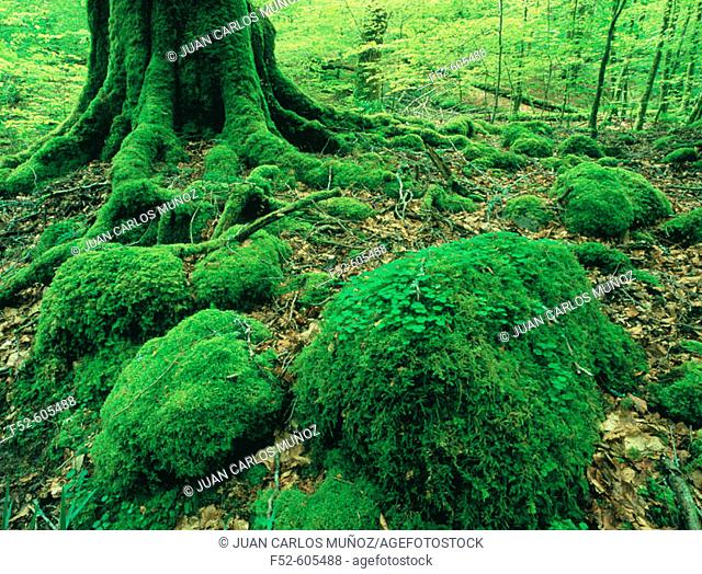 Moss and beech, Atlantic forest, spring