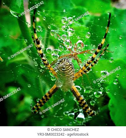 A spider on its web covered by rain drops in Peña de Bernal, Queretaro, Mexico
