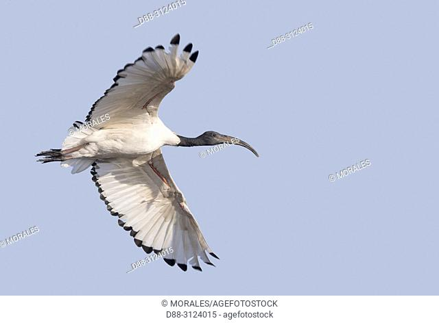 Africa, Ethiopia, Rift Valley, Ziway lake, African sacred ibis (Threskiornis aethiopicus), in flight