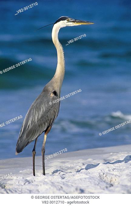 Great blue heron, Gulf Islands National Seashore, Florida