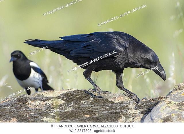 Common Raven (Corvus corax), walking on the rocks, Extremadura, Spain