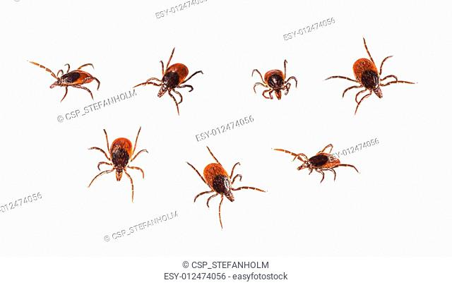 Ticks isolated on white - Ixodida