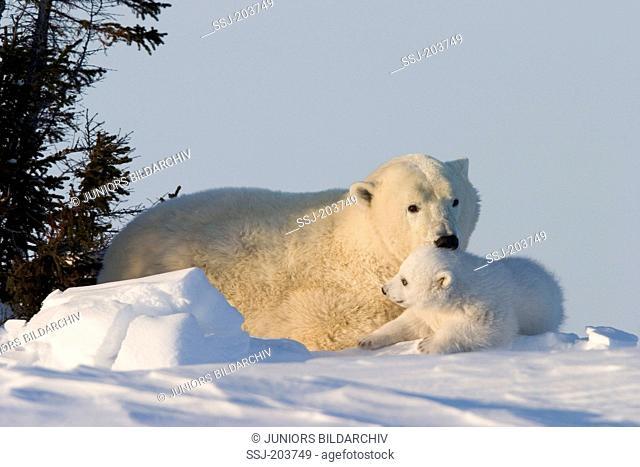 Polar Bear (Ursus maritimus, Thalarctos maritimus). Mother with cub resting in tundra. Wapusk National Park, Canada