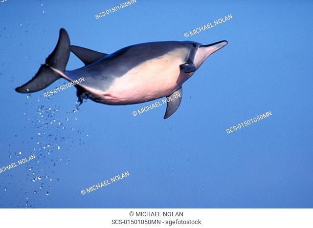 Hawaiian spinner dolphin Stenella longirostris leaping Lanai, Hawaii Restricted Resoluiton - pls contact us