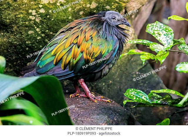 Nicobar pigeon (Caloenas nicobarica) native to the coastal regions from the Andaman and Nicobar Islands, India