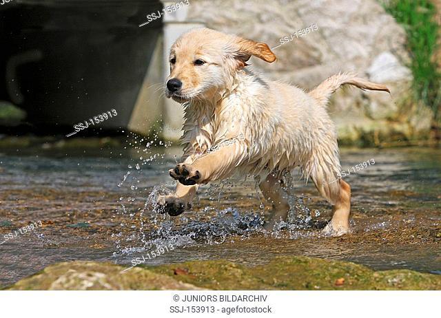 Golden Retriever dog - puppy running in water