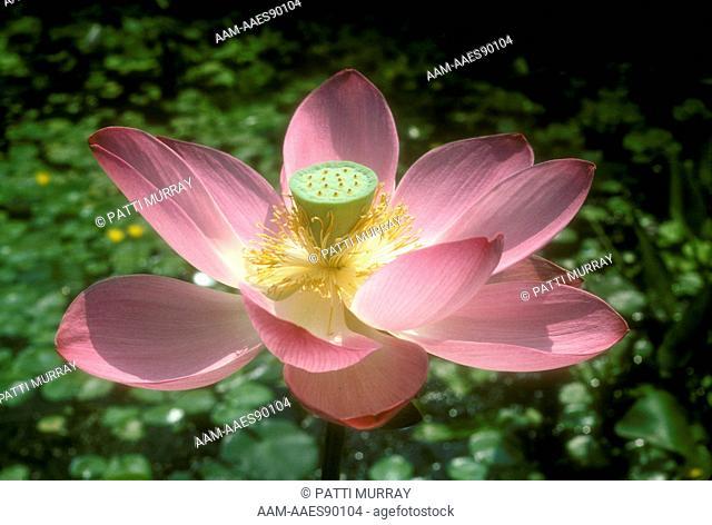 Red Lotus (Nelumbo nucifera) New Jersey