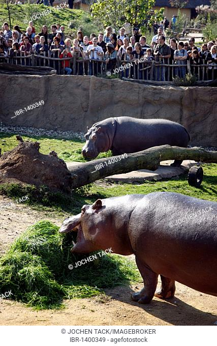 Hippopotami (Hippopotamus amphibius) in the outdoor enclosure of the ZOOM Erlebniswelt leisure park, Africa region, Gelsenkirchen, North Rhine-Westphalia