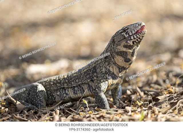 Argentine black and white tegu (Tupinambis merianae), adult on the ground, Pantanal, Mato Grosso, Brazil