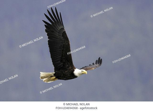 Adult American Bald Eagle Haliaeetus leucocephalus taking flight near Juneau in Southeast Alaska, USA. Pacific Ocean