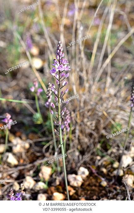 Prospero obtusifolium intermedium is a perennial herb endemic to western Mediterranean Basin. Is included in the Red List of threatened species