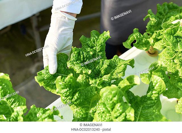 Picking stem lettuce