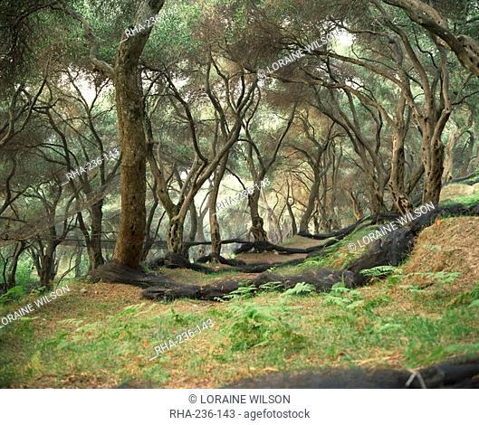 Grove of olive trees at Paroa, Greece, Europe