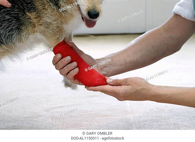 Owner applying bandage to elderly Jack Russell paw