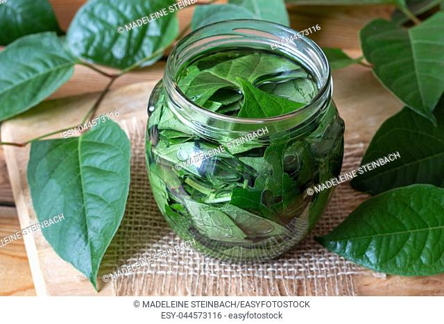 A jar filled with japanese knotweed leaves and alcohol, to prepare homemade tincture