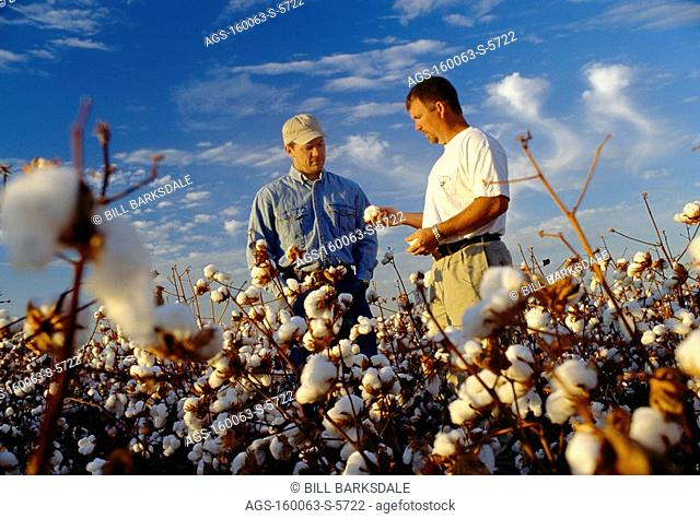 Agriculture - A farmer and crop consultant discussing the crop in a field of high yield cotton at harvest stage / AR