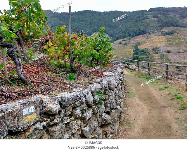 Track across the 'Mencía' variety vineyards in autumn, and Belesar in background, Chantada municipality, Ribeira Sacra, Lugo, Spain