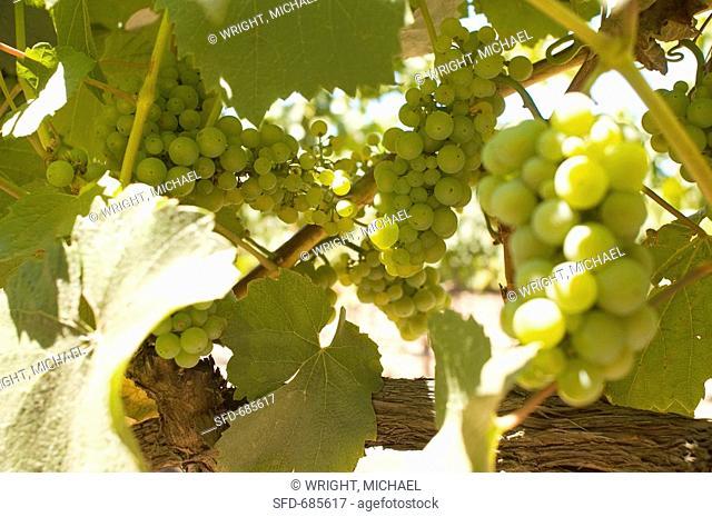 White Grapes on Vine in Sonoma County, California