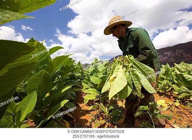 Farmer picking up the tobacco leafs in the field, Vinales, Pinar del Rio Province, Cuba, West Indies, Central America