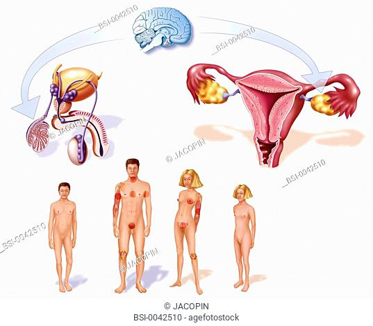 The puberty and the hormonal and physical modifications. Representation for the boy and for the girl of the changes observed during puberty at the level of...