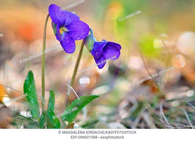 violet flowers of spring on natural background