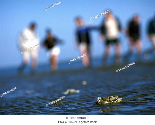 People walking on the mudflats of the Wadden Sea with crab in foreground, the Netherlands