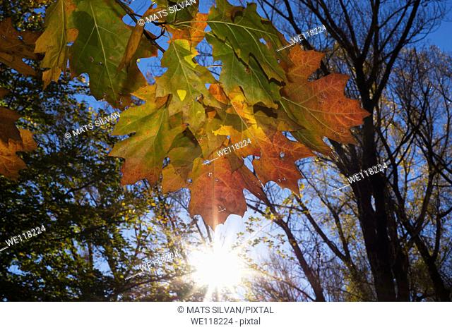 Autumn leaves in backlit
