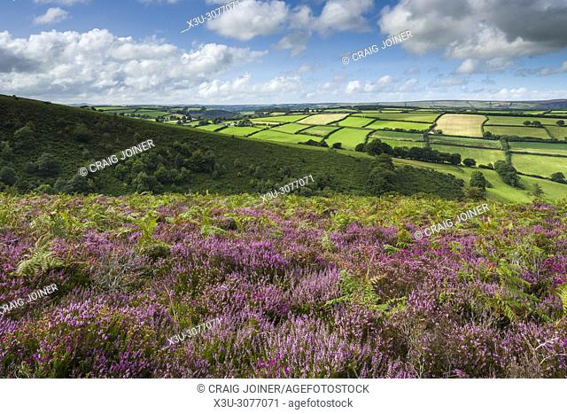 Common heather in late summer on Winsford Hill overlooking The Punchbowl. Exmoor National Park, Somerset, England