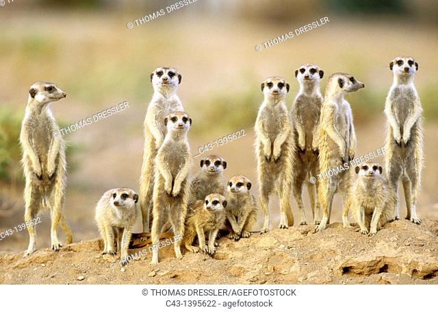 Suricate Suricata suricatta - Adults with young on the lookout at the edge of their burrow  Kalahari Desert, Namibia