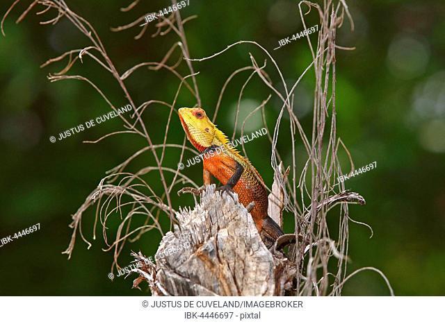 Oriental Garden Lizard (Calotes versicolor), male during mating season, Maldives