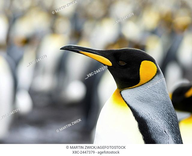 King Penguin (Aptenodytes patagonicus) on the Falkand Islands in the South Atlantic. Portrait. South America, Falkland Islands, January