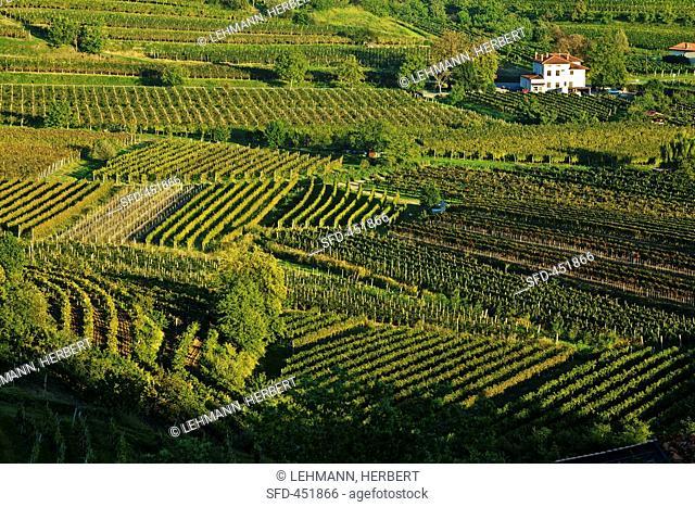 Movia vineyard, Slovenia