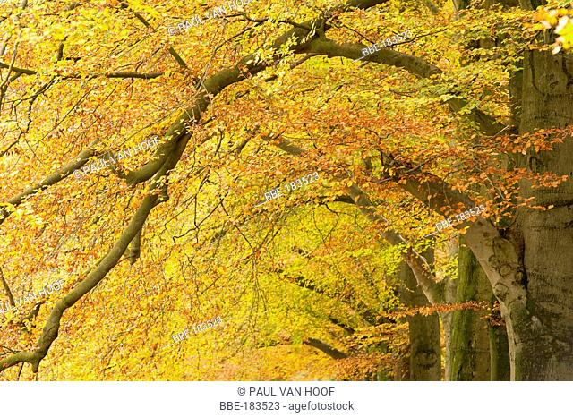 View of branches of a beech avenue in autumn with coloured leaves